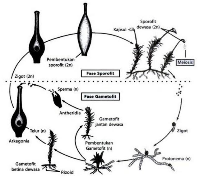 Siklus Hidup Bryophyta (Tumbuhan Lumut) - Tips Petani