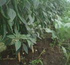 Cara Membuat Buah Cabai Cepat Matang Di Pohonnya