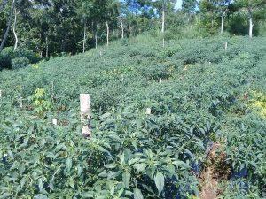 kondisi pohon cabai 90-105 hst siap panen