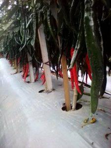 tanaman cabai berbuah lebat sekali