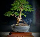 Jenis tanaman bonsai yang cocok Daerah Dingin