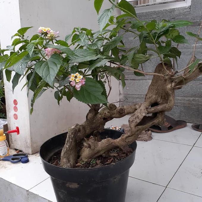 Cara Cepat Tumbuhkan Tunas Bonsai Lantana Tips Petani