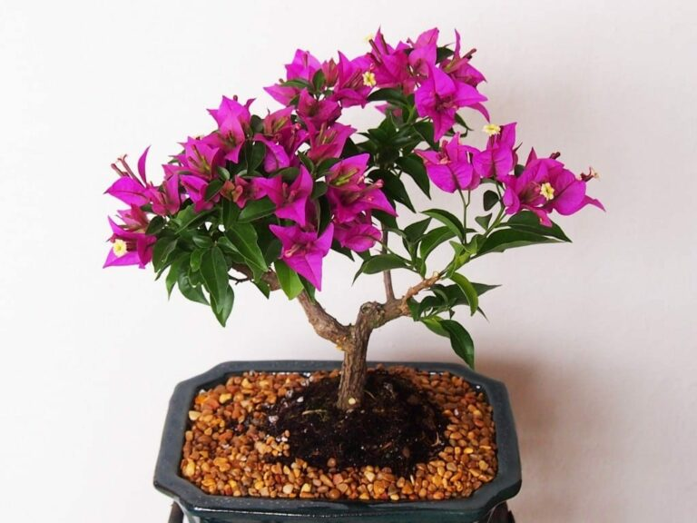 Bonsai tanaman bunga kertas bogenvil