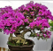Bunga bogenvil berbunga lebat dan subur