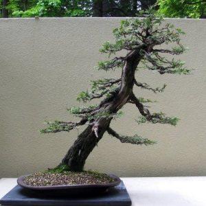 Gaya bonsai miring