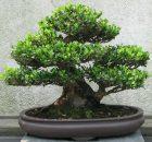 Tanaman bonsai di pot yang serasi