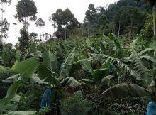 perkebunan pisang cavendish