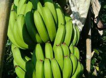 pohon pisang cavendish