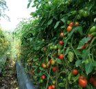 pohon tomat subur