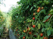 pohon tomat berbuah lebat
