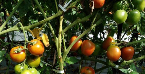 daun tomat klorosis