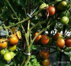 pohon tomat berbuah sangat lebat