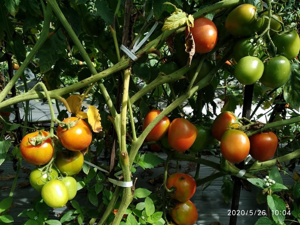 menanam tomat dengan memanfaatkan mulsa plastik