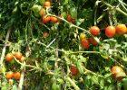 pohon tomat tumbuh subur dan berbuah lebat