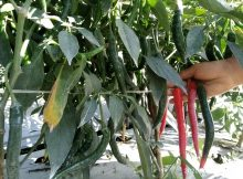 tanaman cabe yang sehat dan berbuah lebat