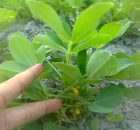 kacang tanah mempunyai nodul akar yang berisi bakteri Rhizobium legumniosarum