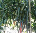 pohon cabe berbuah lebat