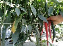 buah cabe berbuah lebat sekali