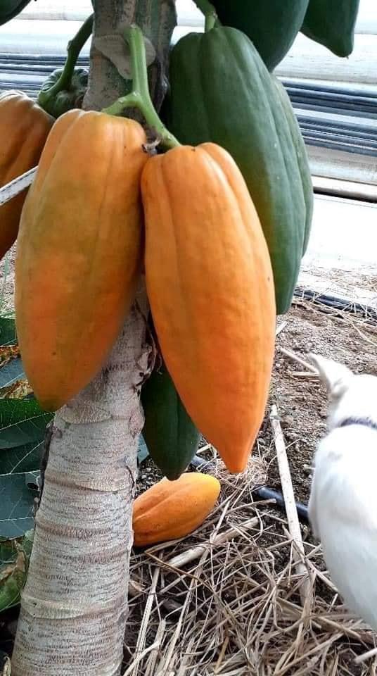 pohon pepaya berbuah lebat dan sehat