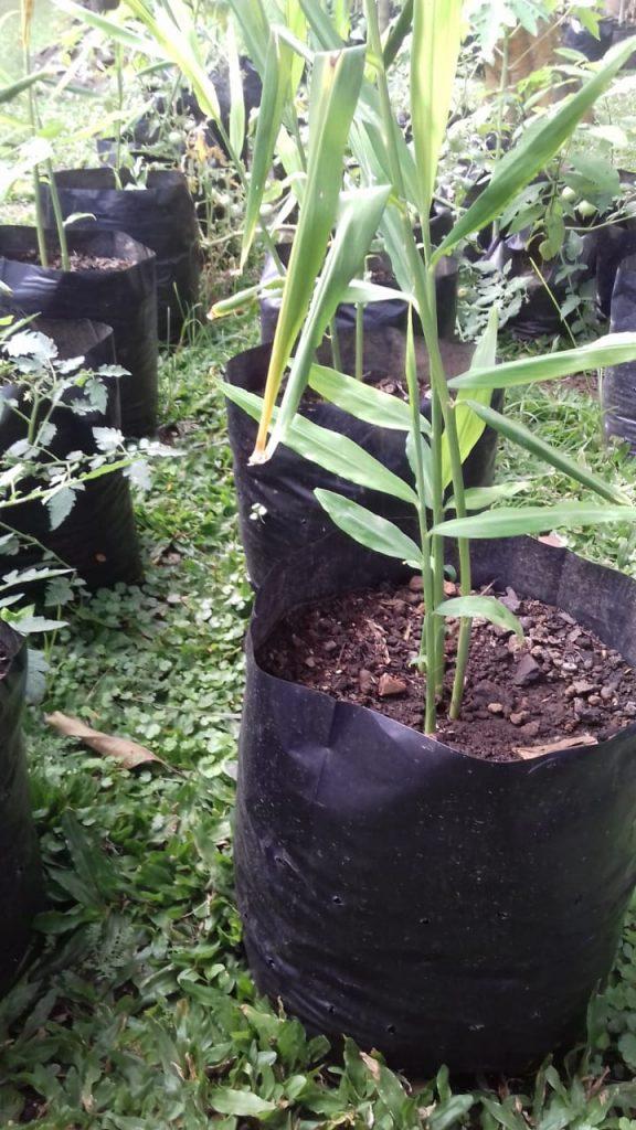 tanaman jahe ditanam di polybag