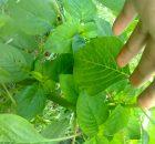 tanaman bayam organik tanpa pestisida