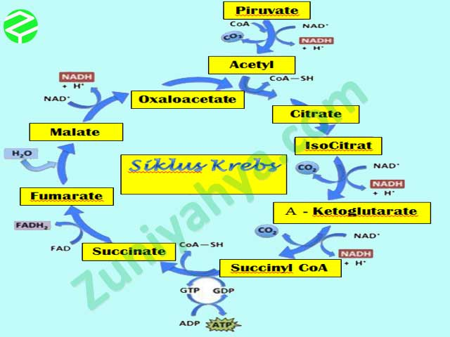 Pengertian, Tempat, Proses, dan Hasil dari Siklus Krebs (Daur Asam Sitrat)