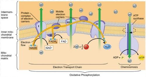 Pengertian, Tempat, Proses dan Hasil dari Transpor Elektron (Fosforilasi Oksidatif)