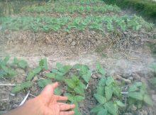 Manfaat Menanam Palawija Jenis Kacang-Kacangan