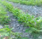 kacang tanah sebagai tanaman palawija
