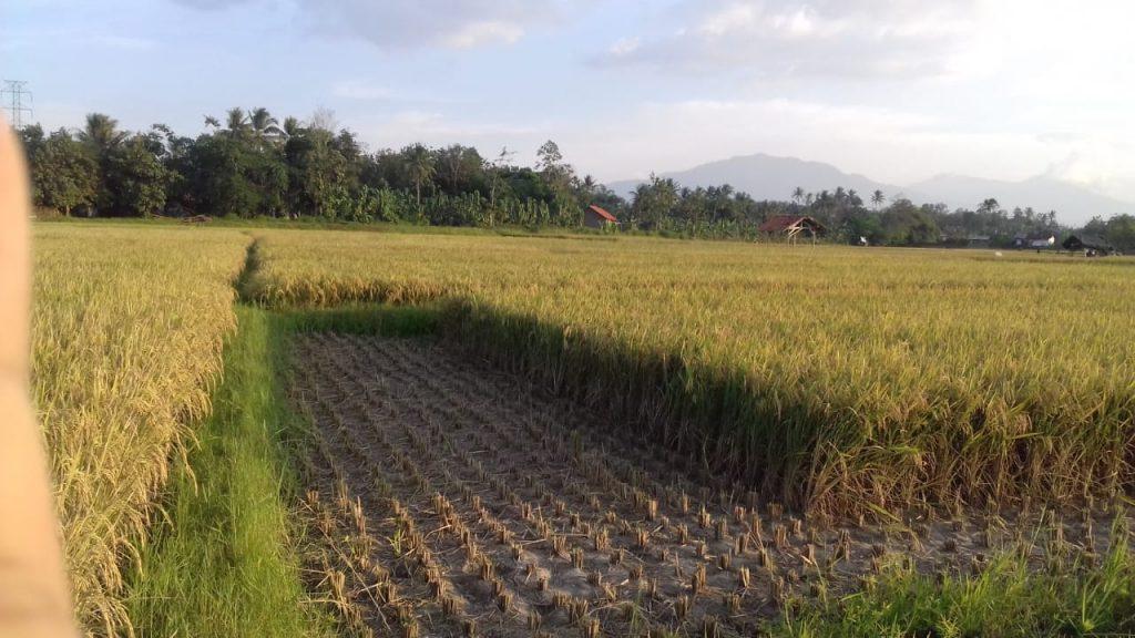 panen padi di sidoharjo 1 negararatu natar Lampung Selatan