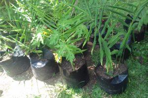 berkebun jahe dengan polibag