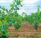 Penjarangan tanaman anggur