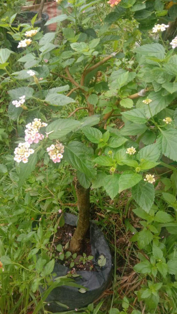 Batang Tanaman Bonsai Lantana