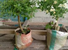 bonsai lantan warna putih polos