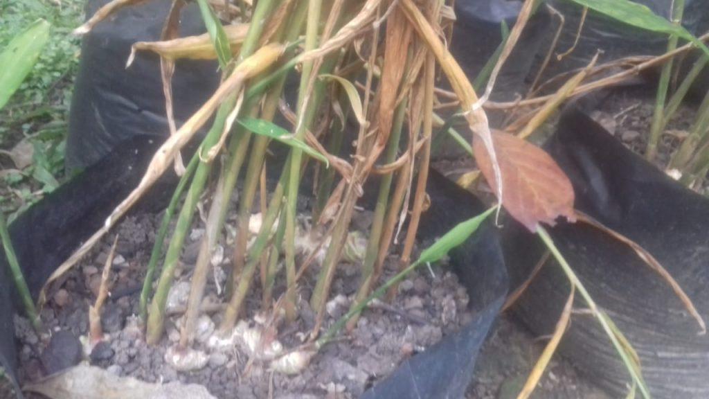 ciri-ciri tanaman jahe siap dipanen